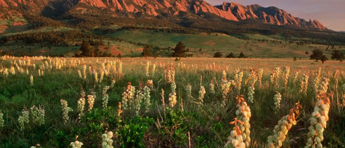 Yucca plants with the Rocky Mountains in the background outside Boulder Colorado